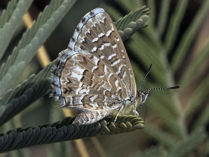 Theclinesthes serpentata [Saltbush Blue]