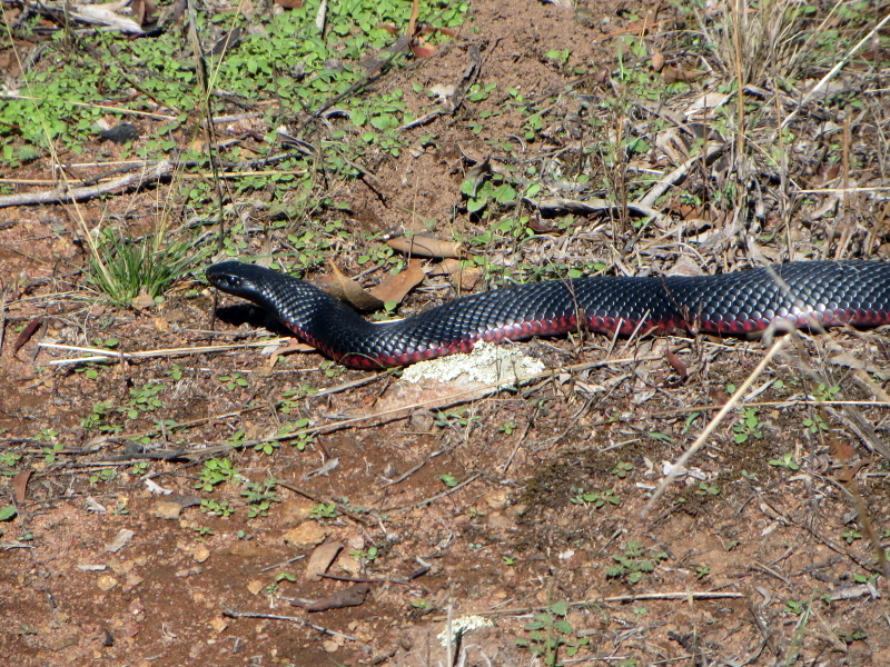 Pseudechis porphyriacus [Red-bellied black snake]