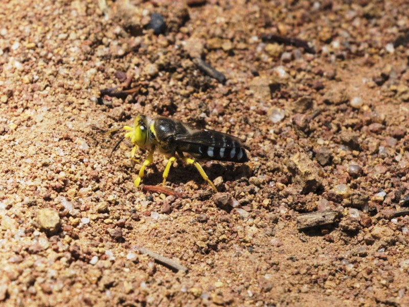 Bembix sp. [unidentified Bembix sand wasp]